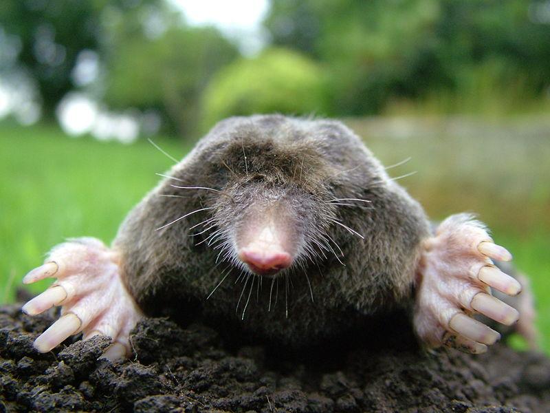 get rid of garden moles in garden